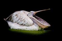 Closeup Spotted-billed Pelecan Bird Royalty Free Stock Photos