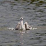 Closeup Spotted-billed Pelecan Bird Stock Images