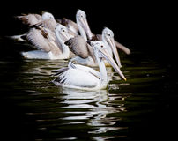 Closeup Spotted-billed Pelecan Bird Stock Photography