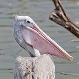 Closeup Spotted-billed Pelecan Bird Royalty Free Stock Image