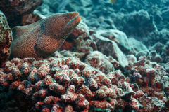 Closeup of spotted moray eel swimming out of coral reef hiding place Stock Photos