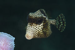 Closeup of Spotted Trunkfish Royalty Free Stock Photography