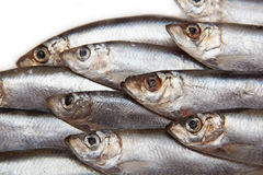 Closeup of Sprat fish. Closeup of a variety of freshly caught Sprat fish, a small European fish also known as bristling, brisling or skipper. Species: Sprattus stock photography