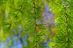 Closeup of a sprig of European larch. Royalty Free Stock Images