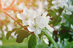 Closeup of spring apple flowers in blossom lit by soft sunlight - spring floral background Royalty Free Stock Photography