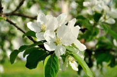 Closeup of spring blooming apple flowers lit by soft sunlight - spring floral background Royalty Free Stock Images