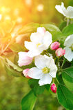 Closeup of spring blooming apple flowers under soft sunlight -natural spring floral background Stock Photography