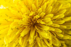 Closeup of spring, blooming, dandelion. Easter concept. Stock Image