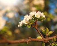 Closeup spring blooming tree in sunlight Royalty Free Stock Photography