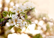 Closeup spring blooming tree in sunlight Royalty Free Stock Images