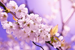 Closeup spring blossoming tree Stock Photography