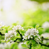 Closeup spring blossoming tree Stock Images