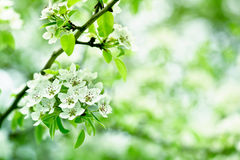 Closeup spring blossoming tree Royalty Free Stock Image