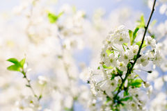 Closeup spring blossoming tree Stock Image