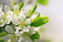 Closeup spring blossoming tree Royalty Free Stock Photography