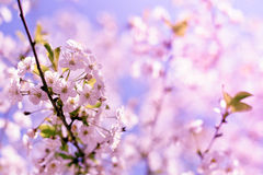 Closeup spring blossoming tree Royalty Free Stock Photos