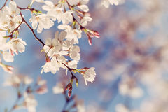 Closeup of spring cherry tree blossoms Stock Images