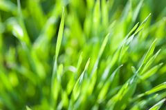 Closeup of spring green grass. Shallow focus depth on top blades of grass stock photo