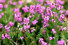 Closeup of Spring Heather with bee, gathering pollen Royalty Free Stock Image