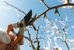 Closeup of spring pruning of fruit trees royalty free stock photography