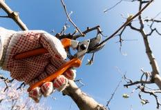 Closeup of spring pruning of fruit trees royalty free stock photos