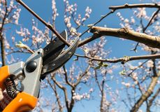 Closeup of spring pruning of fruit trees stock photography