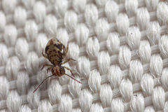 Closeup of springtail on fabric Royalty Free Stock Image