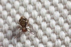 Closeup of springtail on fabric. Closeup of a globular springtail on fabric Royalty Free Stock Image