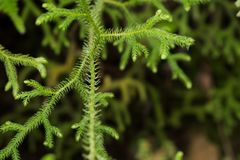 Closeup of spruce branches selective focus, green tree detail royalty free stock photo
