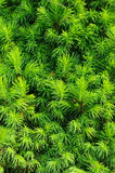 Closeup of spruce conica, background, vertical Royalty Free Stock Image