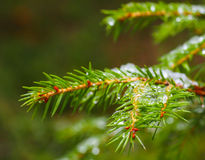 Closeup of spruce with ice with beautiful bokeh, isolated toward. S green lush foliage stock image