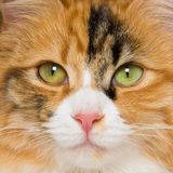 Closeup square portrait of Calico cat Royalty Free Stock Photo