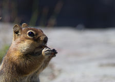 Closeup of a squirrel chipmunk eating an almond at Mount St Helens, Washington US. Close up of a squirrel chipmunk eating an almond. Shot at Mount St Helens Royalty Free Stock Photos