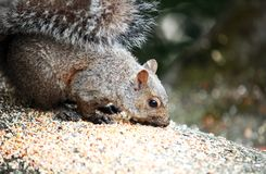 Closeup of a Squirrel eating seeds Royalty Free Stock Photo