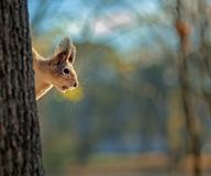Squirrel sitting on a tree trunk with a blurred background royalty free stock photo
