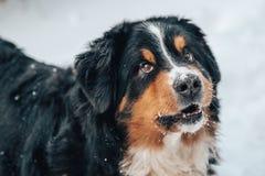 Closeup of st.bernard dog. With snow Royalty Free Stock Image