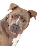 Closeup of Staffordshire Bull Terrier Dog Royalty Free Stock Image