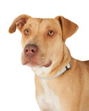 Closeup Of Staffordshire Bull Terrier Mix Breed Dog Royalty Free Stock Image