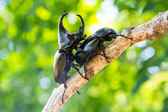 Closeup Stag beetle on tree Stock Image