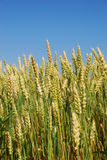 A closeup of stalks of golden wheat in a field. A blue sky Stock Image