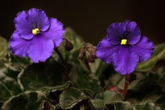 African Violet flower Royalty Free Stock Photo
