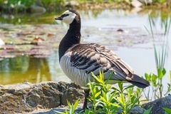 Closeup of a barnacle goose Stock Images