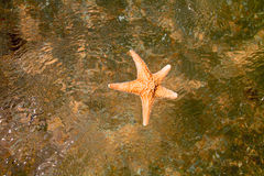 Closeup of starfish in water top view Royalty Free Stock Photos