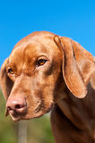 Closeup of a Staring Vizsla Dog. A vizsla dog stares intently at something on the ground Royalty Free Stock Image