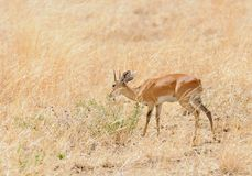 Closeup of Steenbok Raphicerus campestris. Or `Funo or Tondoro` in Swaheli in the Tarangire National park, Tanzania Stock Photos