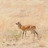 Male steenbok. Closeup of Steenbok Raphicerus campestris , or `Funo or Tondoro` in Swaheli in the Tarangire National park, Tanzania Royalty Free Stock Photography