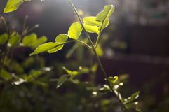 Closeup of the stem and leaves of a plant. Which green color is intensified by backlit Royalty Free Stock Images