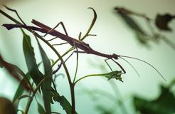Stick insect on a plant. Closeup of a stick insect on a plant royalty free stock photography