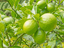 Closeup of still green lemon fruits on tree Royalty Free Stock Photos