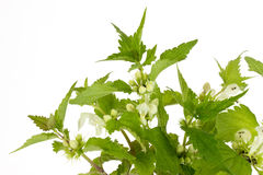 Closeup of stinging nettles Stock Image